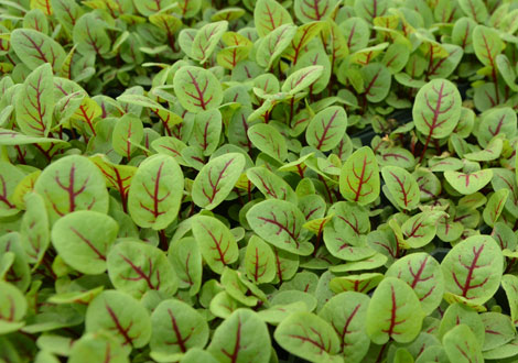 Blood Sorrel