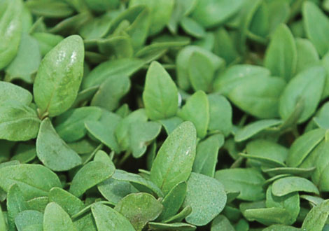 Micro Lemon Basil aka Lemone Cress