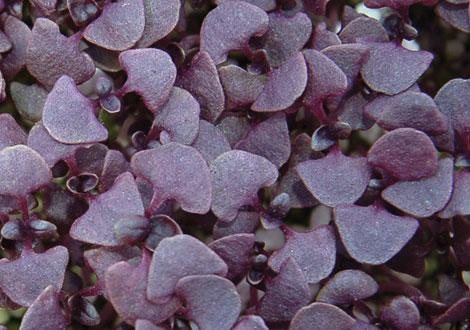 Micro Purple Sakura Radish