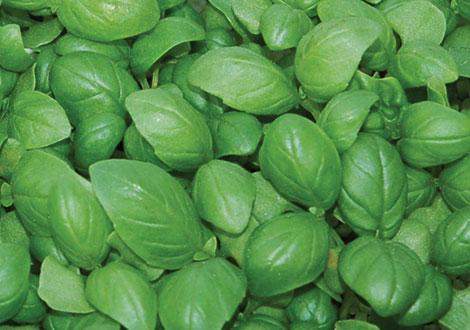 Micro Sweet Basil